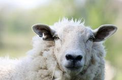 Stock Photo of Sheep