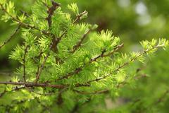 small larix tree leaves close up - stock photo