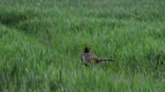 A Male Pheasant Stays Alert as he Forages Stock Footage