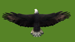 Eagle inciting wings flying gliding,haliaeetus leucocephalus bird animal. Stock Footage