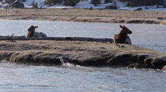 Elk on Island in Madison River in Yellowstone National Park Stock Footage