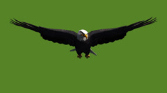 Stock Video Footage of Eagle inciting wings flying gliding,haliaeetus leucocephalus bird animal.