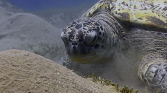 Green sea turtle, feeding on sea grass - 29.97fps Stock Footage