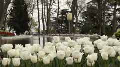 White ottoman tulips, Istanbul, close up, tulips festival, sad, imitation lake Stock Footage