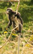 Spectacled langur sitting in a tree, ang thong national marine park, thailand Stock Photos