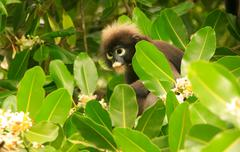 spectacled langur sitting in a tree, ang thong national marine park, thailand - stock photo
