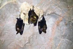 Three bats in a cave Stock Photos