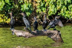 Cormorants standing branch peruvian amazon jungle madre de dios peru Stock Photos