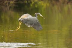 tricolored heron (egretta tricolor) flying - stock photo