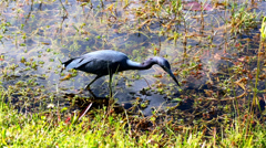 Little Blue Heron Stock Footage