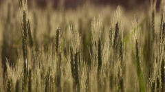 Heads of wheat close up green Stock Footage