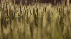 Heads of wheat close up breeze Stock Footage