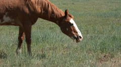 Stallion horse grazing in farm pasture HD 039 Stock Footage