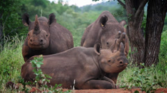 Family of black rhino Stock Footage