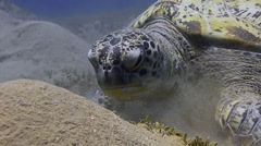 Green sea turtle, feeding on sea grass - 25fps Stock Footage