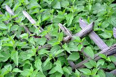 Stinging nettle at a wooden fence Stock Photos