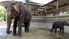 Elephants in zoological garden in Pattaya, Thailand Stock Footage