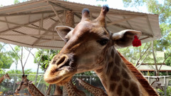 Beautiful giraffes in zoological garden in Pattaya, Thailand Stock Footage