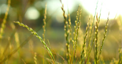 4K Green Grasses 03 Dolly R Macro Stock Footage