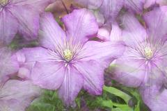 clematis background - stock photo