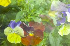 Pansy background Stock Photos