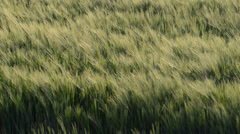 Wheat waving in the wind Stock Footage