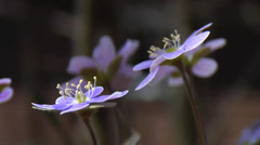 First Sign of Spring! - Hepatica Wildflowers 4 Stock Footage