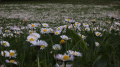 Daisy Field Stock Footage