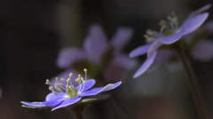 First Sign of Spring! - Hepatica Wildflowers 3 - stock footage