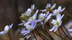 First Sign of Spring! - Hepatica Wildflowers 2 - stock footage