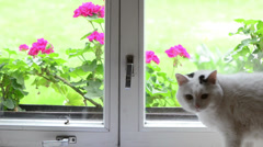 White fluffy cat pet sit on window sill walk away and other Stock Footage
