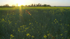 Rapeseed field at sunset Stock Footage