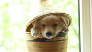 Stock Video Footage of funny cute puppy sitting in a basket