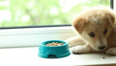 Stock Video Footage of little puppy with an appetite chews dry food from a bowl