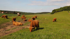 The herd of aberdeen angus Stock Footage