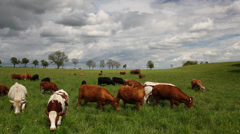 The herd of cows Stock Footage