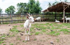 Goats . - stock photo