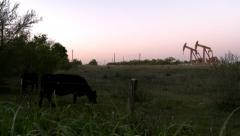 Cows eating grass with oil pumpjack in background Stock Footage