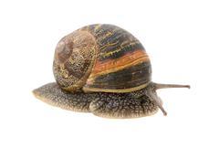Closeup of garden snail emerging from its shell Stock Photos