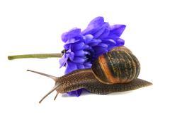 Garden snail slides over the petals of a blue chrysanthemum flower Stock Photos