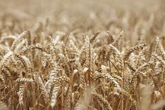 Vehnä lähikuva farm field Kuvituskuvat