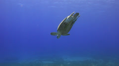 Green sea turtle, diving down to sea grass bed - 25fps Stock Footage