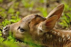 Just born young fallow deer Stock Photos