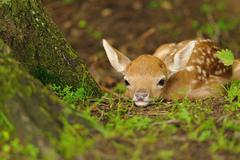 Just born young fallow deer - stock photo