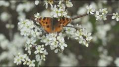 Flowering bushes blackthorn, butterfly mnogotsvetnitsa Stock Footage