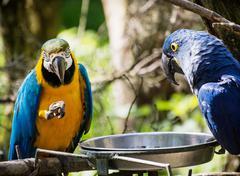 Blue-and-yellow macaw (ara ararauna) and hyacinth macaw (anodorhynchus hyacin Stock Photos