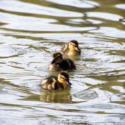 Three little mallard ducklings Stock Photos