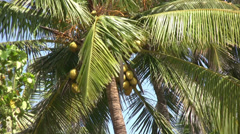 Coconut palm trees in the wind - stock footage