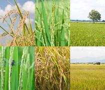 Paddy rice plant Stock Photos