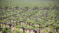 Grapevines 01 HD Stock Footage